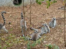 Many Lemur!