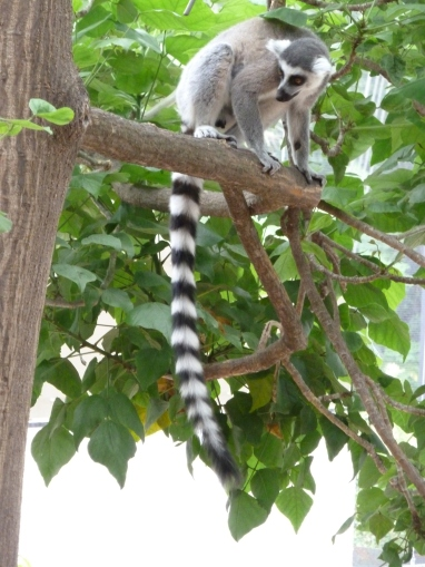 Lemur in a tree
