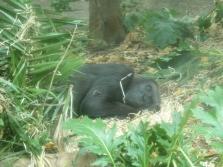 Snoozing Gorilla