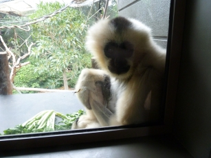 Lady White Cheeked Gibbon