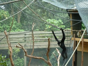 Dude White Cheeked Gibbon