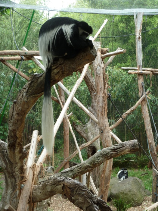Colobus Monkey chillaxing