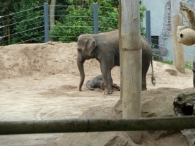 Babby Elephant falls over