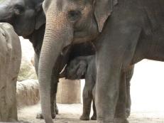Babby Elephant hides