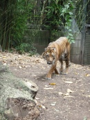 Sumatran Tiger on the prowl