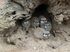 Meerkats hide from the rain